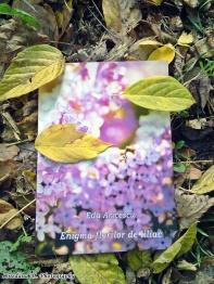 Enigma florilor de liliac - Eda Aricescu